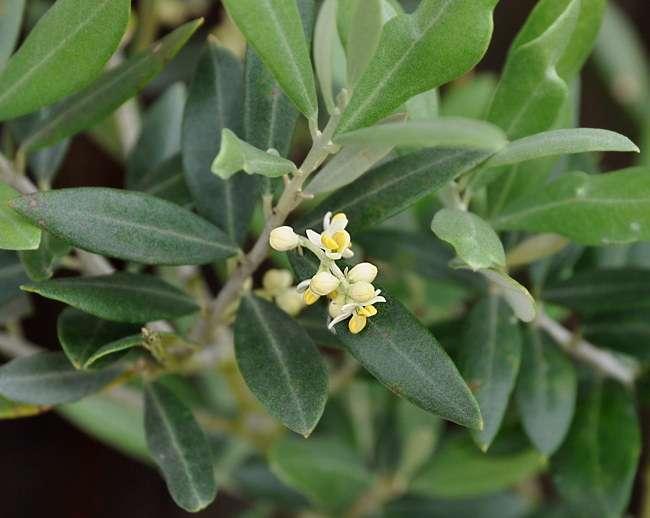 Arbres et arbustes flore de senlisse for Arbres a feuilles persistantes